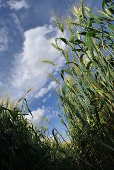 Free Wheat And Blue Sky Stock Photos - 41998833