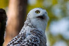 Free White Owl Stock Image - 421291