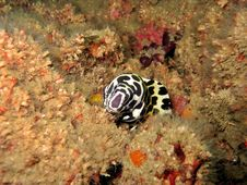 Free Honeycomb Moray Royalty Free Stock Image - 422086