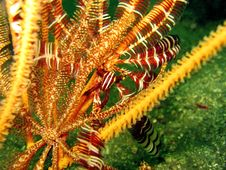 Free Crinoid Squat Lobster Stock Photo - 422090