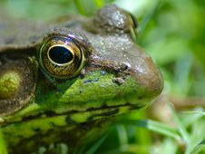 Free Frog III Royalty Free Stock Photos - 422638