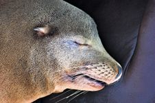 Free Sealion Sleep Stock Images - 422964