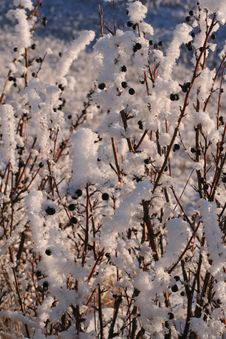 Free Cotoneaster Hedge Frosted Royalty Free Stock Image - 423146