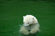 Free Playing Polar Bear. Royalty Free Stock Photography - 423517