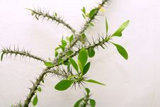 Free Thorn Bush Stock Photography - 424732