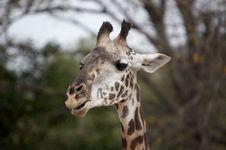 Free Giraffe Royalty Free Stock Photos - 425318