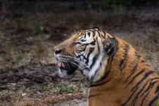 Free Tiger Stock Photos - 425353