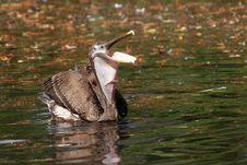 Free Pelican Royalty Free Stock Photo - 425355