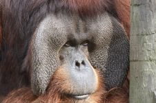 Free Orangutan Stock Photography - 425362