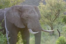 Free Bull Elephant Stock Photography - 425812