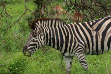 Free Zebra Royalty Free Stock Image - 425826