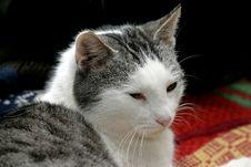 Sleepy Tomcat Royalty Free Stock Photo