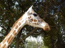 Free Giraffe Head And Neck Royalty Free Stock Photography - 426337