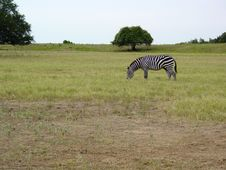 Free Zebra In The Field Stock Images - 426344