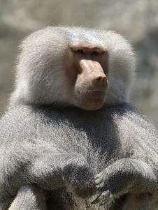 Free Baboon Royalty Free Stock Image - 429396