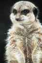 Free Meerkat On The Lookout Stock Photography - 4200042