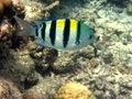 Free Fish : Abudefdus Vaigiensis Stock Images - 4207674