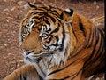 Free Big Cat Stock Photos - 4209133