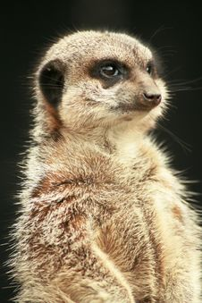 Free Inquisitive Meerkat Stock Image - 4200111