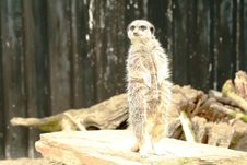Free Meerkat Standing On The Lookout Stock Images - 4200184