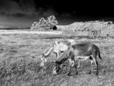 Free Donkeys In Black White Stock Photo - 4202100