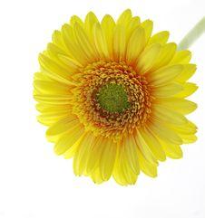 Free Sunny Gerber Stock Photo - 4202300