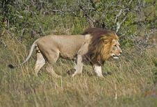 Free Tsama Lion Royalty Free Stock Images - 4202479
