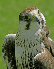 Free Falcon Bird Stock Photography - 4202762