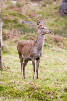 Free Roe Deer Stock Image - 4203211