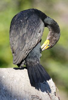 Free Double-Crested Cormorant Stock Image - 4204611