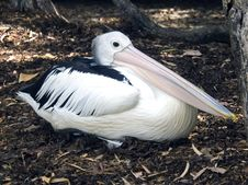 Free Pelican Sitting Royalty Free Stock Photo - 4204795