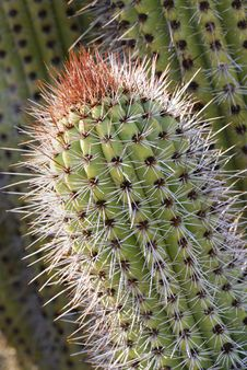 Free Pointed Cactus Royalty Free Stock Photo - 4204945