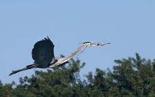 Free Blue Heron Royalty Free Stock Photo - 4205455