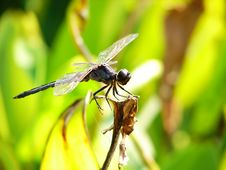 A Big Dragonfly Stock Image