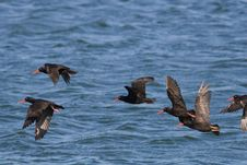 Free African Black Oystercatchers Royalty Free Stock Photography - 4206767