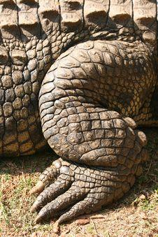 Free Croc S Leg Stock Image - 4207921