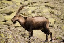 Free Wild Goat Stock Image - 4207991