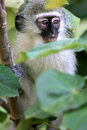 Free Vervet Monkey Stock Photos - 4217603