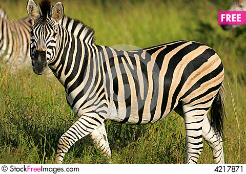 African Zebra - Free Stock Photos & Images - 4217871 ...