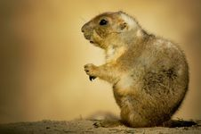 Free Cute Prairie Dog Royalty Free Stock Photos - 4210028