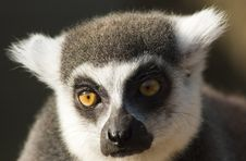Free Cute Ring-tailed Lemur Royalty Free Stock Photos - 4210038