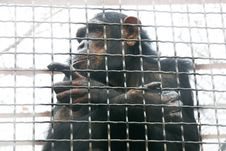 Free Chimp In Cage Stock Image - 4210921