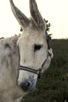 Free Portrait Of A Donkey Royalty Free Stock Images - 4211129