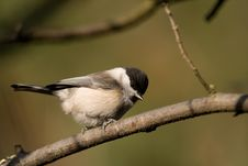 Free Willow Tit Royalty Free Stock Images - 4212099
