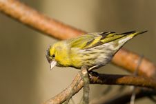 Free Siskin (Carduelis Spinus) Royalty Free Stock Photos - 4212118