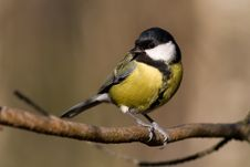 Free Great Tit (aka Parus Major) Royalty Free Stock Photos - 4212188