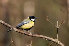 Great Tit (aka Parus Major) Stock Photos