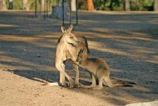 Free Kangaroo Royalty Free Stock Image - 4213776