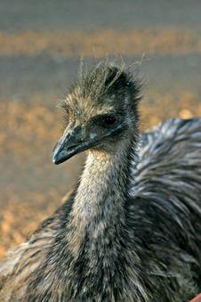 Free Emu Stock Image - 4213781
