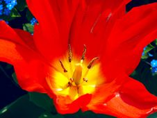 Free Blooing Red Tulip Royalty Free Stock Image - 4213856